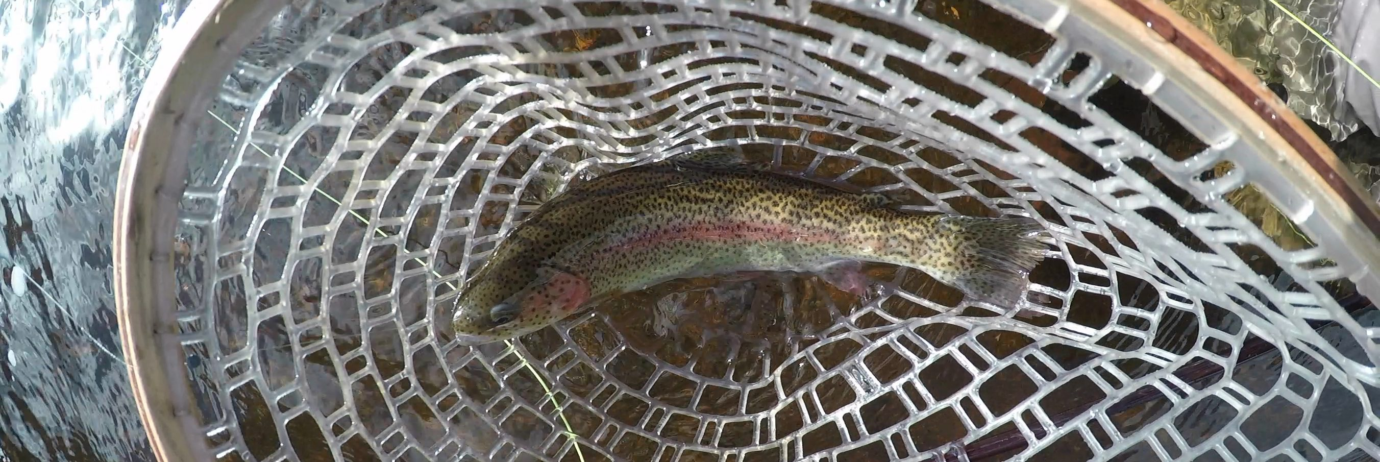 Cut Bow Trout Vs. Rainbow Trout Vs. Cutthroat Trout