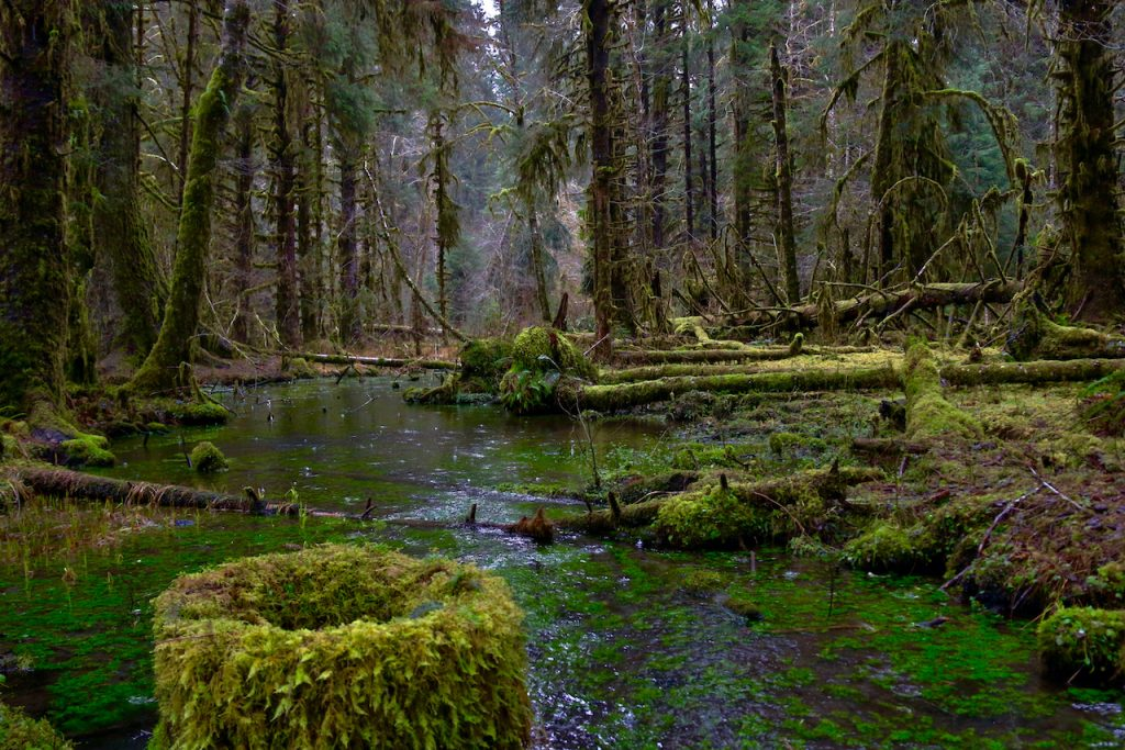 Looking upstream into the Hoh Rainforest along the Spruce Nature Trail