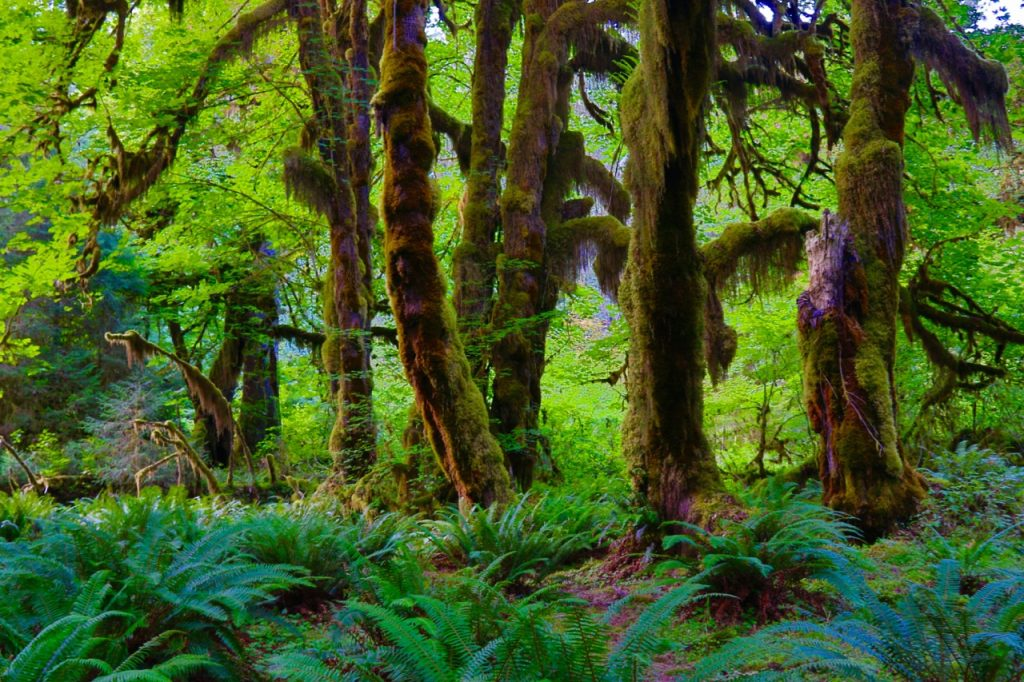 A sunny day in the Hoh Rainforest, showing ferns and trees covered with moss