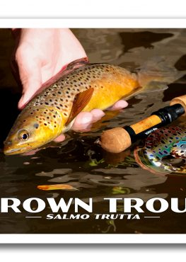 Brown Trout Poster Photography Print