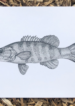 Smallmouth Bass Drawing Art