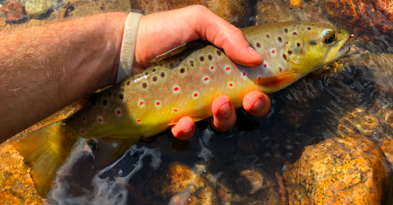 Brown Trout From Cache La Poudre River In Fort Collins
