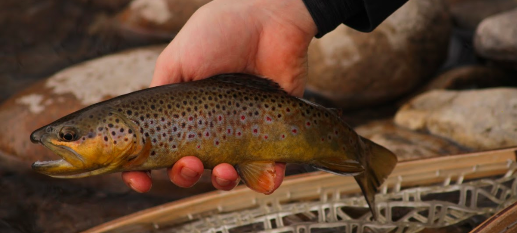 Poudre River Brown Trout In Fort Collins