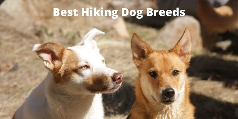 Best Hiking Dog Breeds