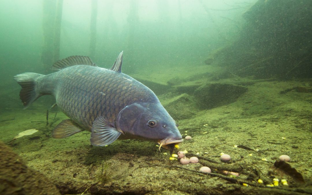 Carp Fishing in Slovenia