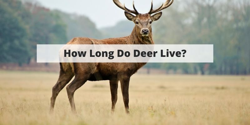 How Long Do Deer Live? White-Tail, Mule Deer, Buck Vs. Doe & More