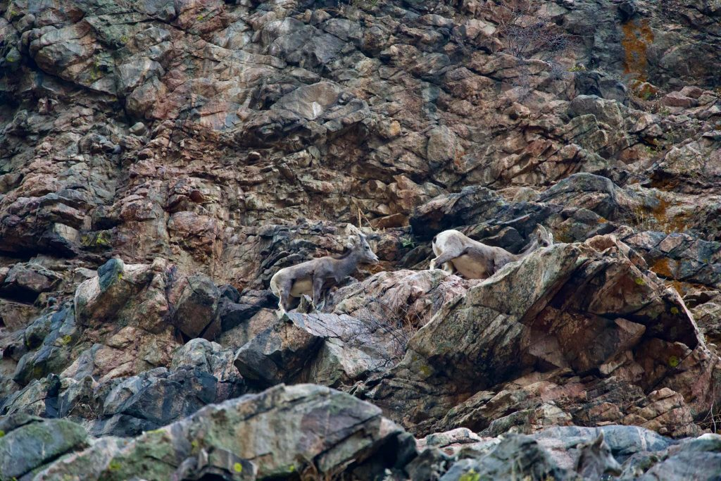 Rams in Waterton Canyon