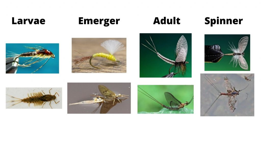 Mayfly Life Stages And Flies